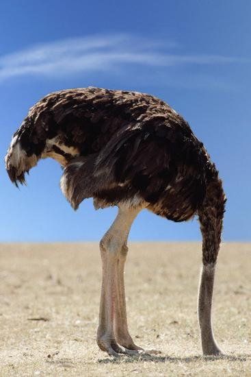 Ostrich with Head in Sand Photographic Print at AllPosters.com