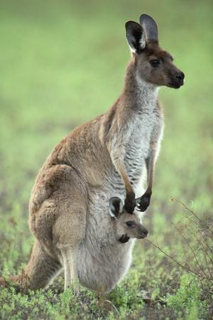 Western Grey Kangaroo with Joey in Pouch