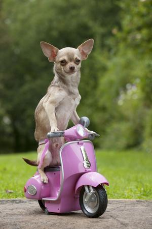Chihuahua on Scooter