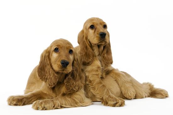 English Cocker Spaniel Puppies in Studio