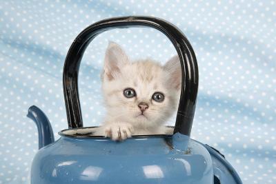 Cream Asian Kitten in Teapot