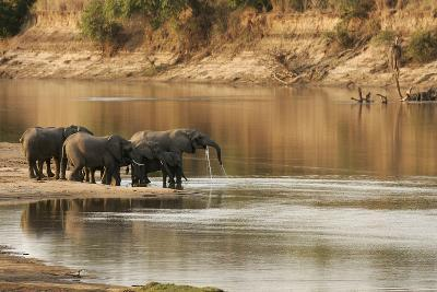 African Elephant Group Drinking at Water