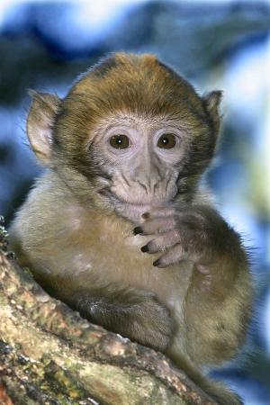 Barbary Macaque, Ape or Rock Ape Young