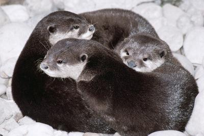 Asian Small-Clawed Otter X Three