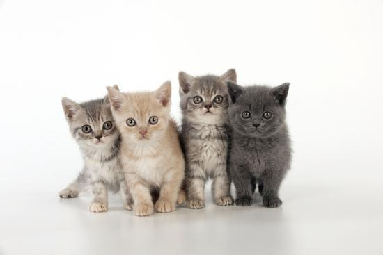 7 Week Old British Shorthair Kittens