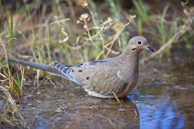 Mourning Dove Bathing in Temporary Pool