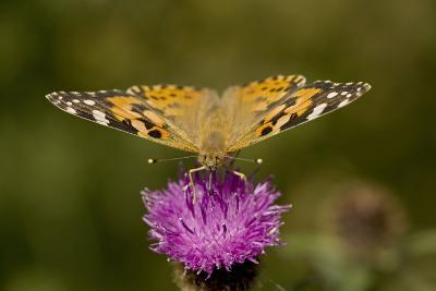 Painted Lady Butterfly on Thistle Blossom
