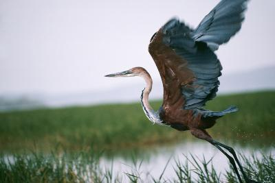 Goliath Heron Taking Off