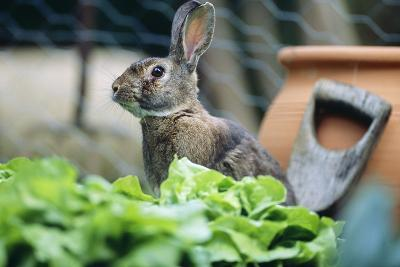 Common Rabbit in Vegetable Garden