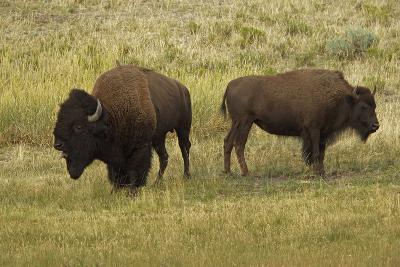 American Bison, Buffalo Male (Large) and Female