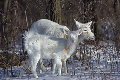 White-Tailed Deer Doe and Fawn, White Color