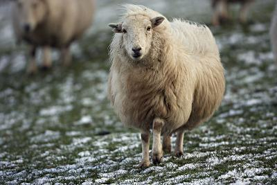 Sheep Mixture of Suffolk and Welch Mountain Breeds