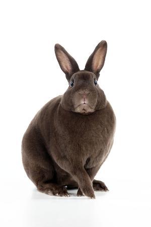 Rabbit Mini Havana Rex