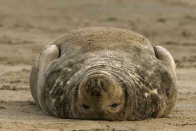 Grey Seal on Back in Sand