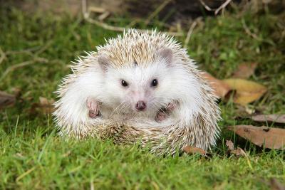 Hedgehog Blonde