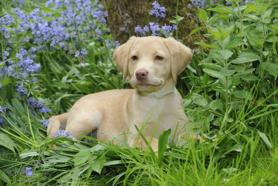 Fox Red Labrador Puppy Sitting in Garden