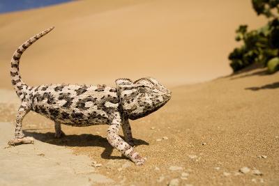 Namaqua Chameleon Side Profile During Threat
