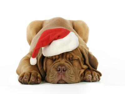 Dogue De Bordeaux Puppy Lying Down Wearing Christmas Hat