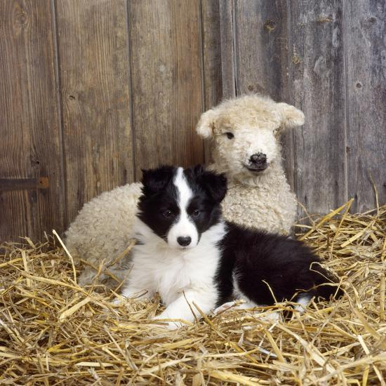 Border Collie Puppy With Lamb Photographic Print At Allposterscom