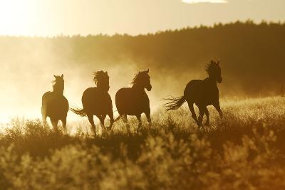 American Quarter Paint Horses Running