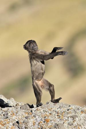 Gelada Baboon Young Standing on Hind Legs