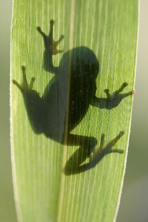 Treefrog Silhouette Through Leaf