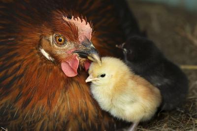 Chicken Hen with Chicks