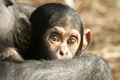 Chimpanzee, Close-Up of Babies Face