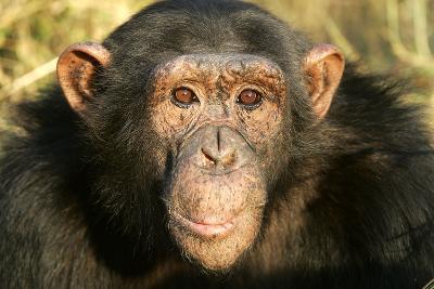 Chimpanzee, Close-Up of Face