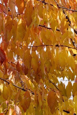 Wild Cherry 's Leaves in Autumn