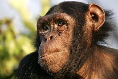 Chimpanzee, Close-Up of Face