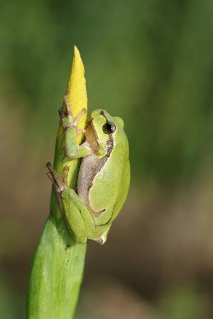 Treefrog on Iris