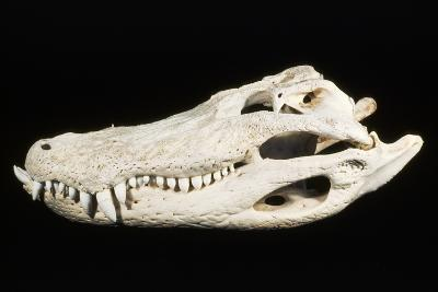 American Alligator Skull Florida