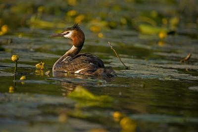 Great Crested Grebe Adult Carrying Young on Back