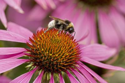 Bumble Bee on Purple Coneflower (Echinacea Purpurea)