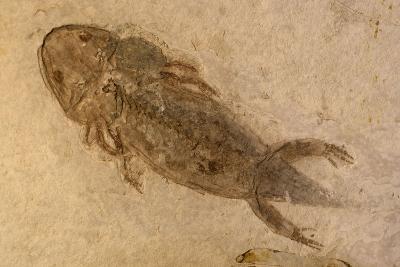 Fossil Salamander