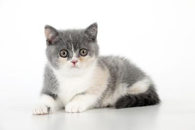 9 Week Old British Shorthair Kitten