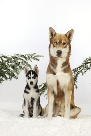 Siberian Husky Puppy Sitting Next to Siberian
