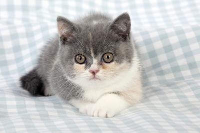 9 Week Old British Shorthair Kitten