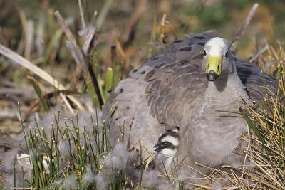 Cape Barren Geese