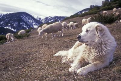 Pyrenean Mountain Dog Protecting Sheep