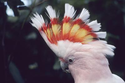 Pink Cockatoo Upswept Crest Whitish When Folded