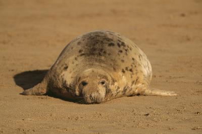 Grey Seal Lying on Sand Beach