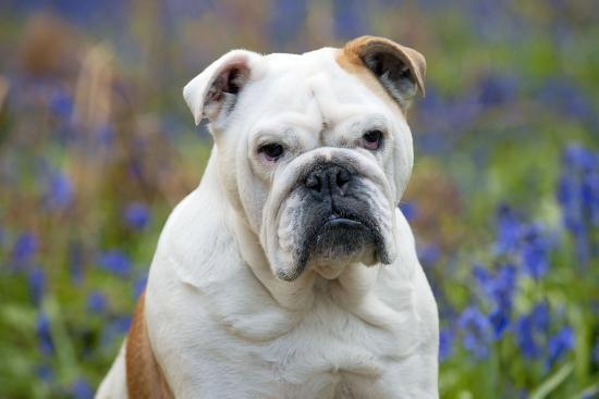 Bulldog Standing In Bluebells Head Shot Photographic