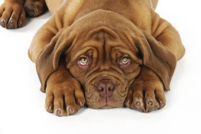Dogue De Bordeaux Puppy Lying Down (Head Shot)