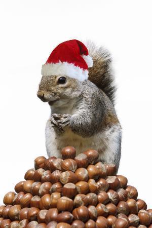 Grey Squirrel on Pyramid of Hazelnuts