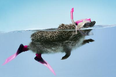 Hedgehog Swimming in Mask Snorkel and Flippers