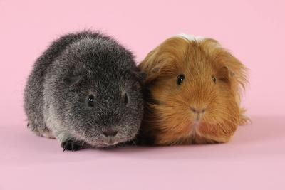 Guinea Pigs Sitting Together