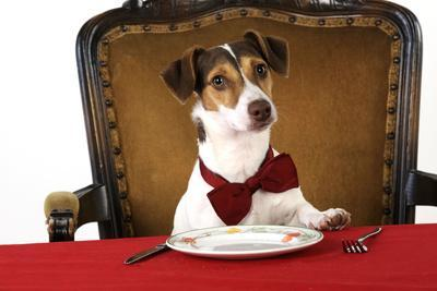 Jack Russell Terrier Wearing Bow Tie Sitting at Table