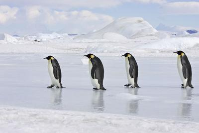 Emperor Penguin Line of Four Adults Walking across Ice